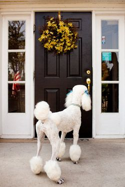 Poodle Standing outside of a door